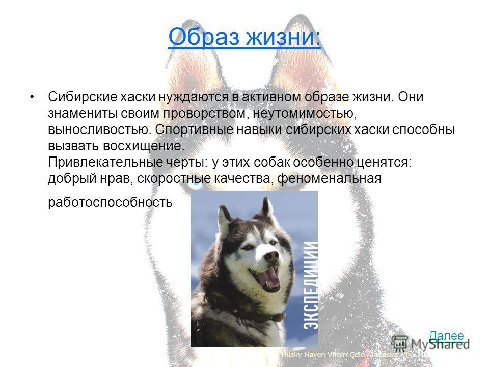 Образ жизни: Сибирские хаски нуждаются в активном образе жизни. Они знамениты своим проворством, неутомимостью, выносливостью. Спортивные навыки сибирских хаски способны вызвать восхищение. Привлекательные черты: у этих собак особенно ценятся: добрый