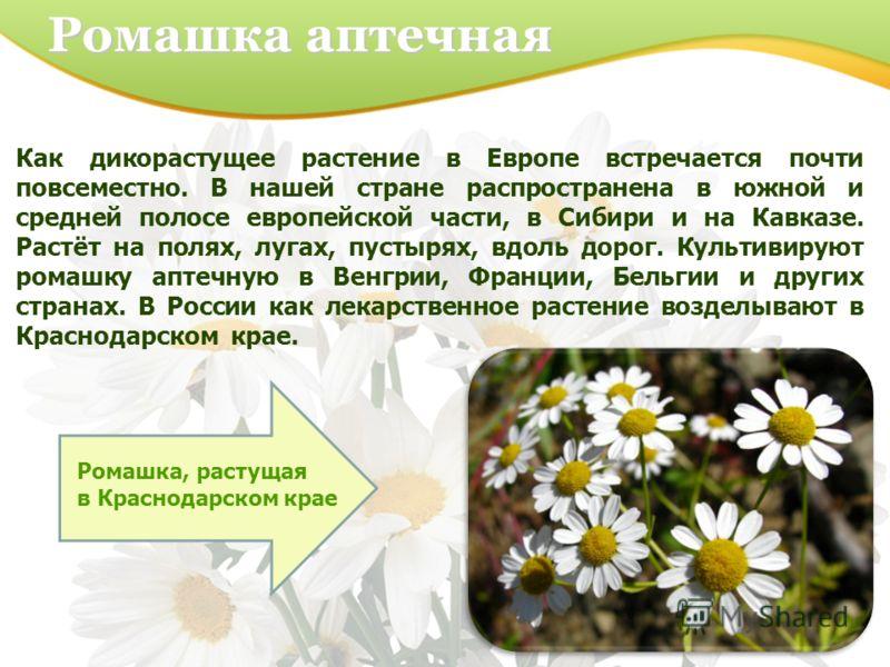 Ромашка аптечная Как дикорастущее растение в Европе встречается почти повсеместно. В нашей стране распространена в южной и средней полосе европейской части, в Сибири и на Кавказе. Растёт на полях, лугах, пустырях, вдоль дорог. Культивируют ромашку ап