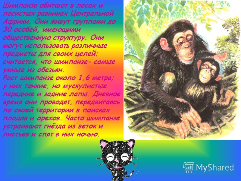 Шимпанзе обитают в лесах и лесистых равнинах Центральной Африки. Они живут группами до 30 особей, имеющими общественную структуру. Они могут использовать различные предметы для своих целей; считается, что шимпанзе- самые умные из обезьян. Рост шимпан