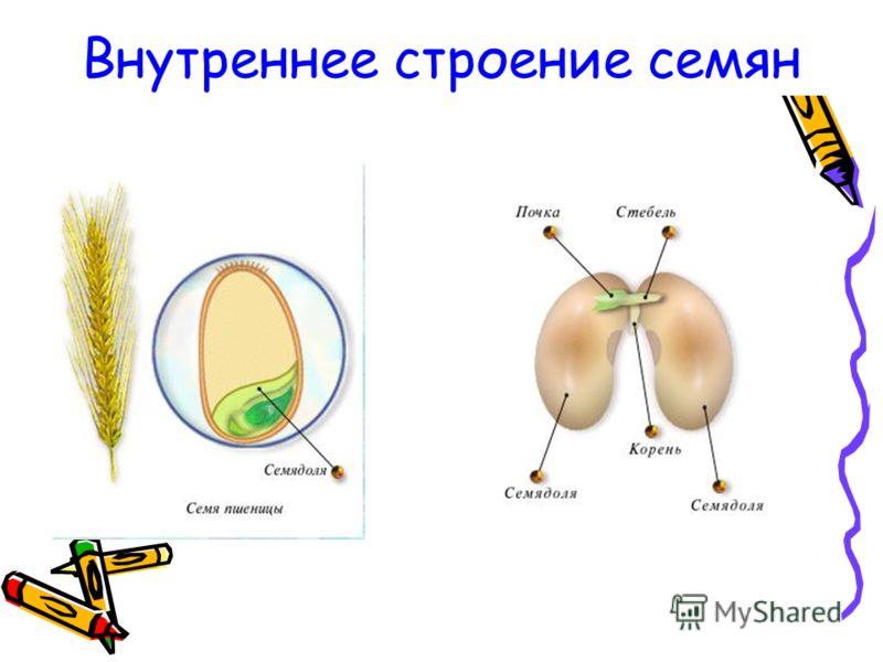 Внутреннее строение семян