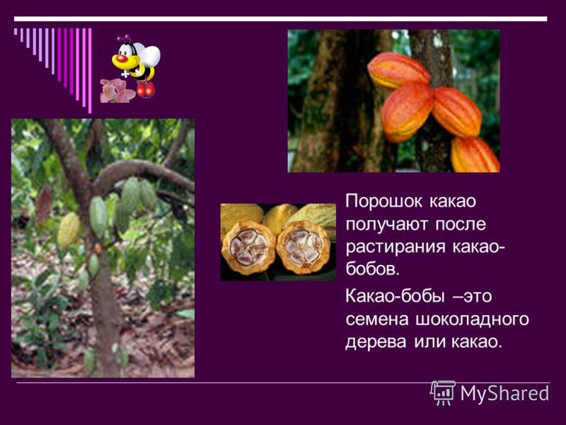 Порошок какао получают после растирания какао- бобов. Какао-бобы –это семена шоколадного дерева или какао.