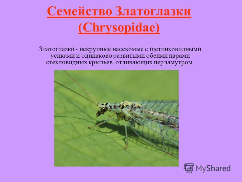 Семейство Златоглазки (Chrysopidae) Златоглазки - некрупные насекомые с щетинковидными усиками и одинаково развитыми обеими парами стекловидных крыльев, отливающих перламутром.