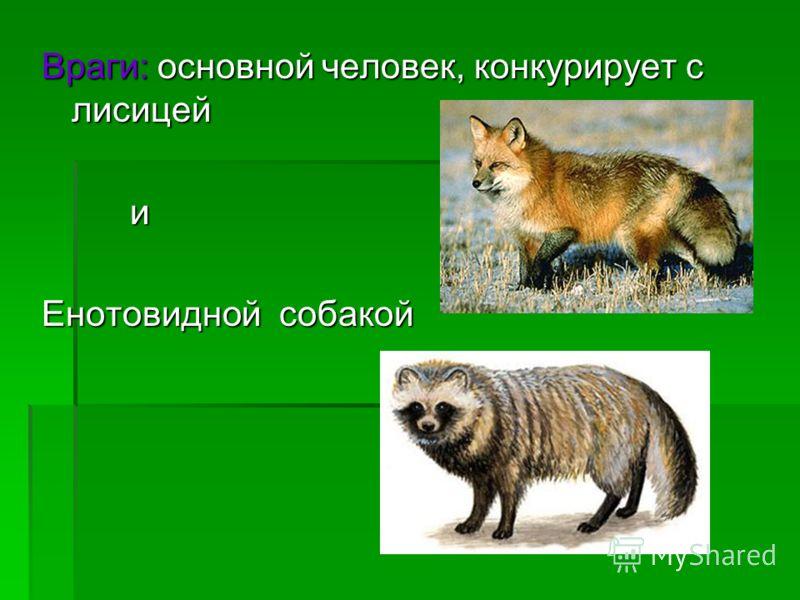 Враги: основной человек, конкурирует с лисицей и Енотовидной собакой