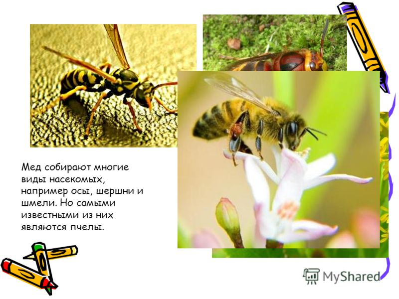 Мед собирают многие виды насекомых, например осы, шершни и шмели. Но самыми известными из них являются пчелы.