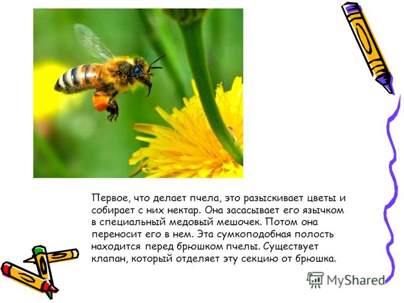 Первое, что делает пчела, это разыскивает цветы и собирает с них нектар. Она засасывает его язычком в специальный медовый мешочек. Потом она переносит его в нем. Эта сумкоподобная полость находится перед брюшком пчелы. Существует клапан, который отде