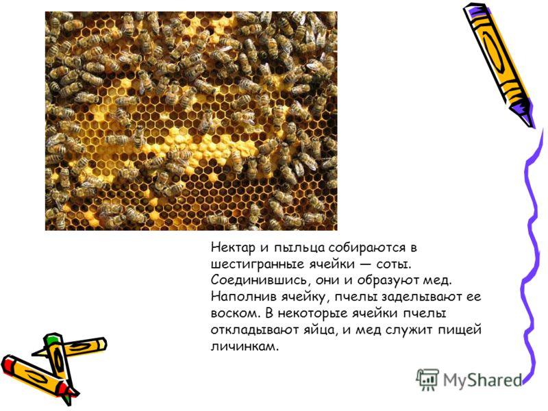 Нектар и пыльца собираются в шестигранные ячейки соты. Соединившись, они и образуют мед. Наполнив ячейку, пчелы заделывают ее воском. В некоторые ячейки пчелы откладывают яйца, и мед служит пищей личинкам.