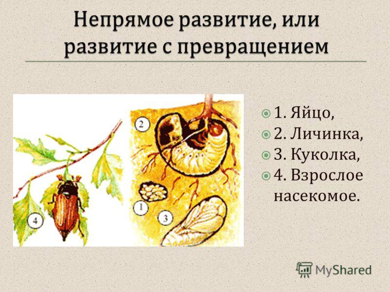 1. Яйцо, 2. Личинка, 3. Куколка, 4. Взрослое насекомое.