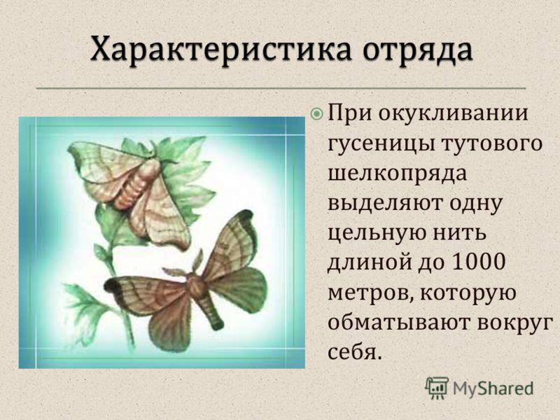 При окукливании гусеницы тутового шелкопряда выделяют одну цельную нить длиной до 1000 метров, которую обматывают вокруг себя.