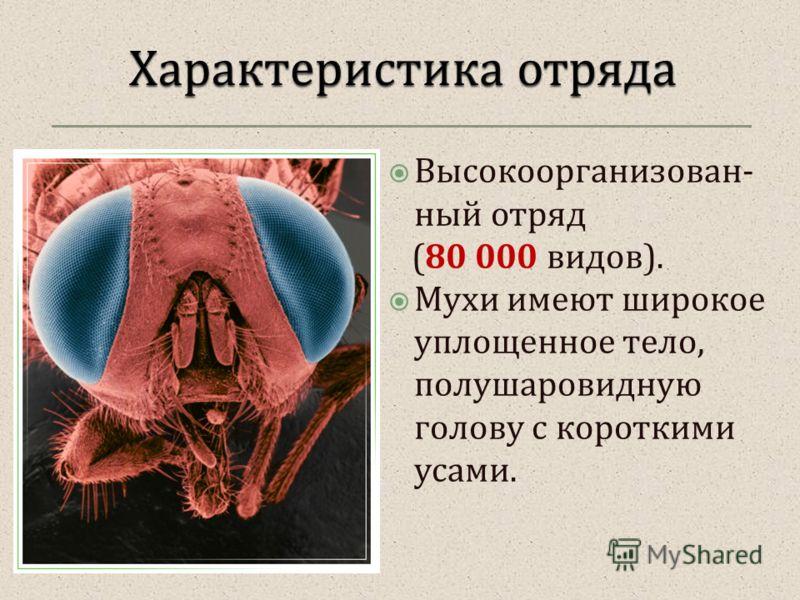 Высокоорганизован - ный отряд (80 000 видов ). Мухи имеют широкое уплощенное тело, полушаровидную голову с короткими усами.