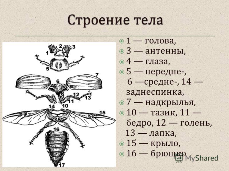 1 голова, 3 антенны, 4 глаза, 5 передне -, 6 средне -, 14 заднеспинка, 7 надкрылья, 10 тазик, 11 бедро, 12 голень, 13 лапка, 15 крыло, 16 брюшко