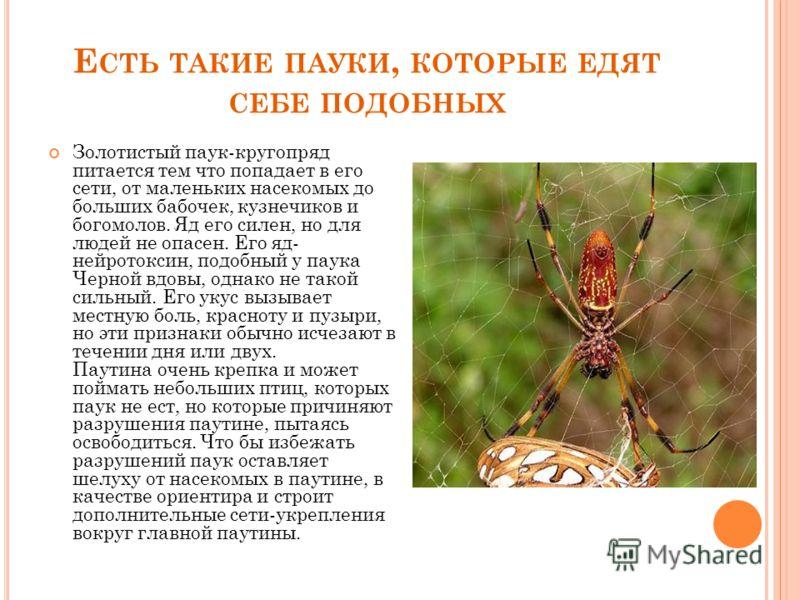 Е СТЬ ТАКИЕ ПАУКИ, КОТОРЫЕ ЕДЯТ СЕБЕ ПОДОБНЫХ Золотистый паук-кругопряд питается тем что попадает в его сети, от маленьких насекомых до больших бабочек, кузнечиков и богомолов. Яд его силен, но для людей не опасен. Его яд- нейротоксин, подобный у пау