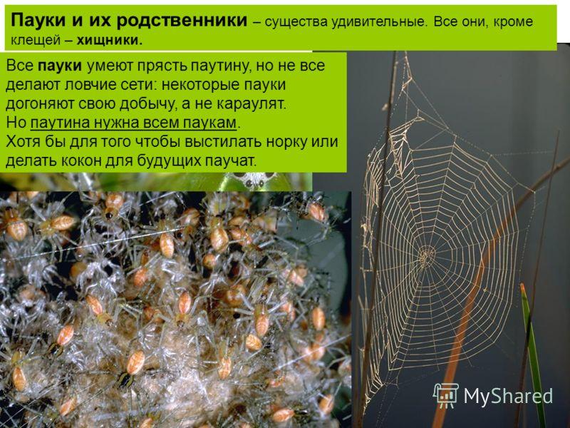 Паук может справится даже с сильным насекомым, к тому же с ядом. А вот паучье «личико» с ядовитыми челюстями и 4 парами глаз Все пауки умеют прясть паутину, но не все делают ловчие сети: некоторые пауки догоняют свою добычу, а не караулят. Но паутина