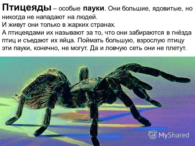 Птицеяды – особые пауки. Они большие, ядовитые, но никогда не нападают на людей. И живут они только в жарких странах. А птицеядами их называют за то, что они забираются в гнёзда птиц и съедают их яйца. Поймать большую, взрослую птицу эти пауки, конеч