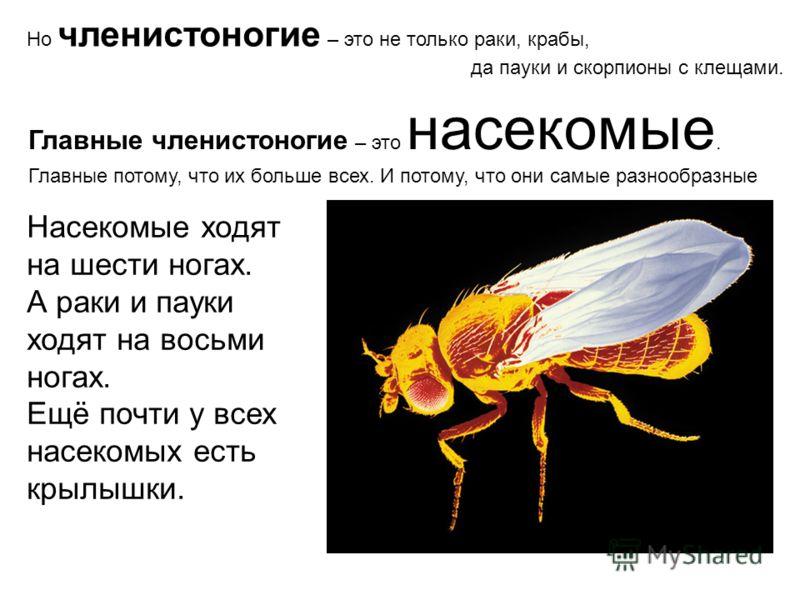 Но членистоногие – это не только раки, крабы, да пауки и скорпионы с клещами. Главные членистоногие – это насекомые. Главные потому, что их больше всех. И потому, что они самые разнообразные Насекомые ходят на шести ногах. А раки и пауки ходят на вос