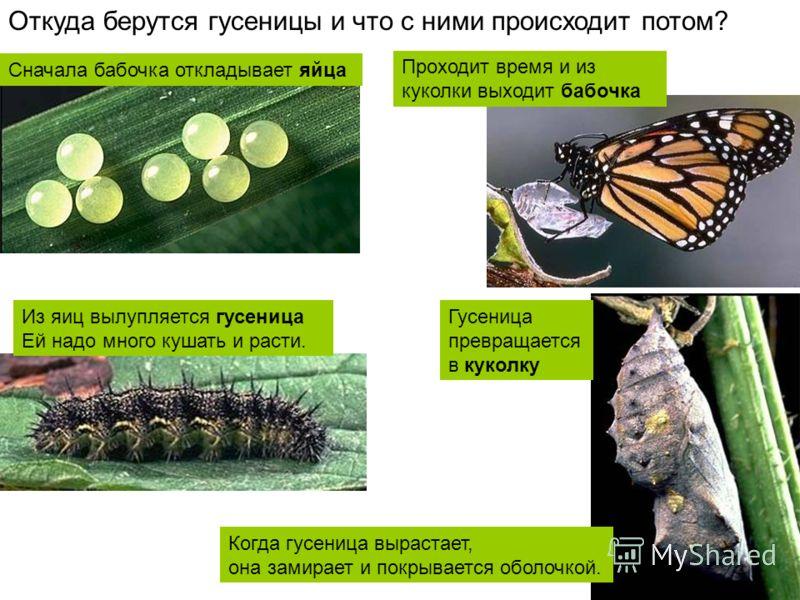 Сначала бабочка откладывает яйца Откуда берутся гусеницы и что с ними происходит потом? Из яиц вылупляется гусеница Ей надо много кушать и расти. Когда гусеница вырастает, она замирает и покрывается оболочкой. Гусеница превращается в куколку Проходит