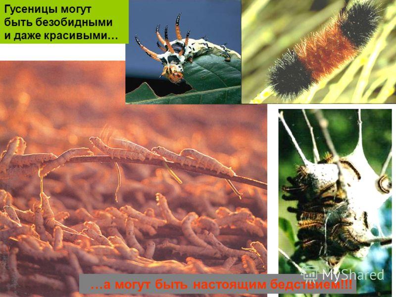…а могут быть настоящим бедствием!!! Гусеницы могут быть безобидными и даже красивыми…