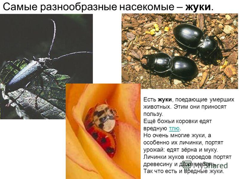 Самые разнообразные насекомые – жуки. Есть жуки, поедающие умерших животных. Этим они приносят пользу. Ещё божьи коровки едят вредную тлю.тлю Но очень многие жуки, а особенно их личинки, портят урожай: едят зёрна и муку. Личинки жуков короедов портят