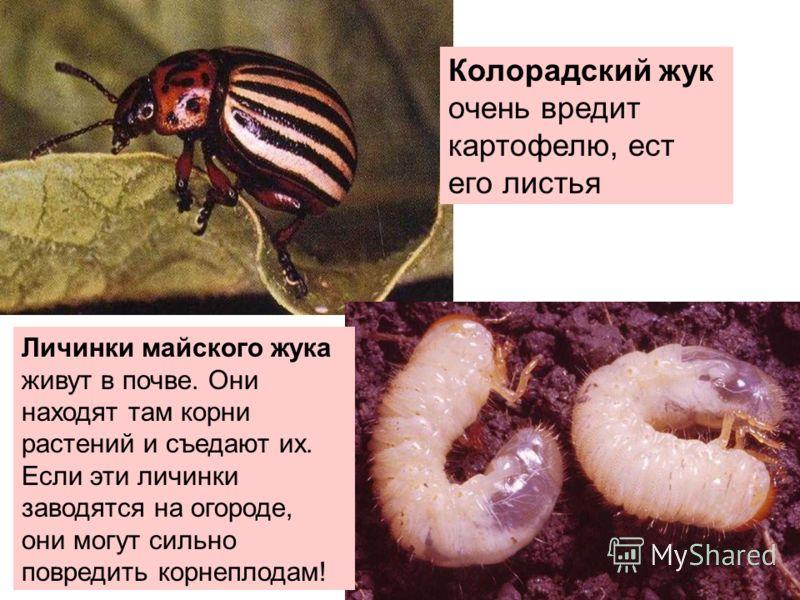 Колорадский жук очень вредит картофелю, ест его листья Личинки майского жука живут в почве. Они находят там корни растений и съедают их. Если эти личинки заводятся на огороде, они могут сильно повредить корнеплодам!
