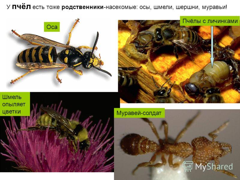 У пчёл есть тоже родственники-насекомые: осы, шмели, шершни, муравьи! Пчёлы с личинками Шмель опыляет цветки Муравей-солдат Оса