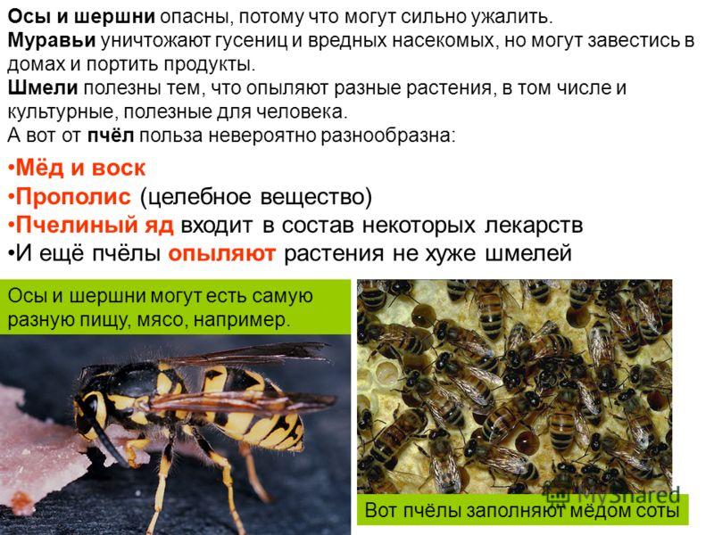 Осы и шершни опасны, потому что могут сильно ужалить. Муравьи уничтожают гусениц и вредных насекомых, но могут завестись в домах и портить продукты. Шмели полезны тем, что опыляют разные растения, в том числе и культурные, полезные для человека. А во