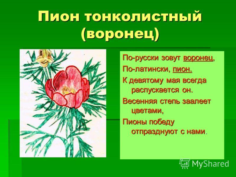 Рябчик русский Луковичное многолетнее растение. Луковичное многолетнее растение. Околоцветник колокольчатый, лилово– пурпурный, внутри пестрый. Околоцветник колокольчатый, лилово– пурпурный, внутри пестрый. Цветет в начале мая. Цветет в начале мая. П