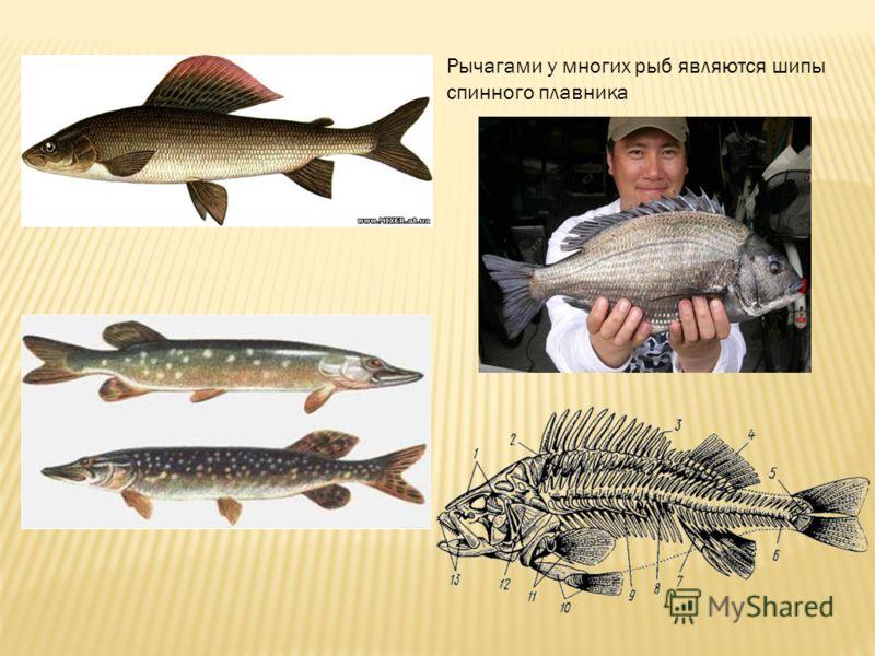 Рычагами у многих рыб являются шипы спинного плавника