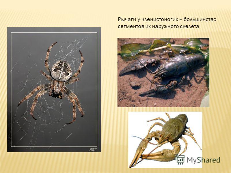 Рычаги у членистоногих – большинство сегментов их наружного скелета