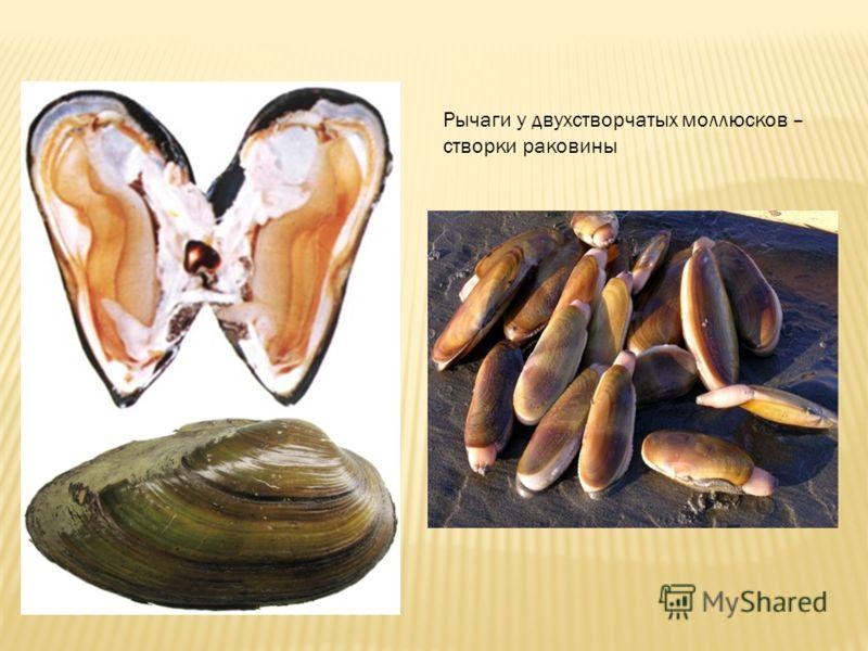 Рычаги у двухстворчатых моллюсков – створки раковины