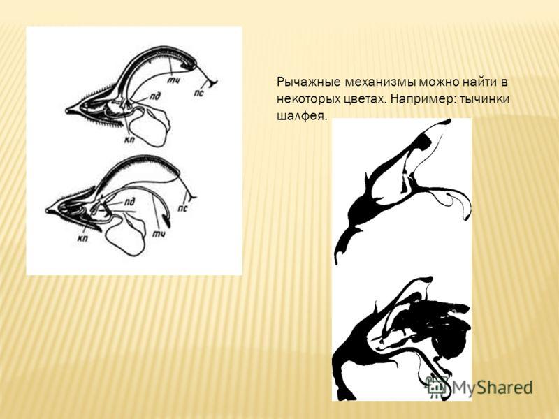 Рычажные механизмы можно найти в некоторых цветах. Например: тычинки шалфея.