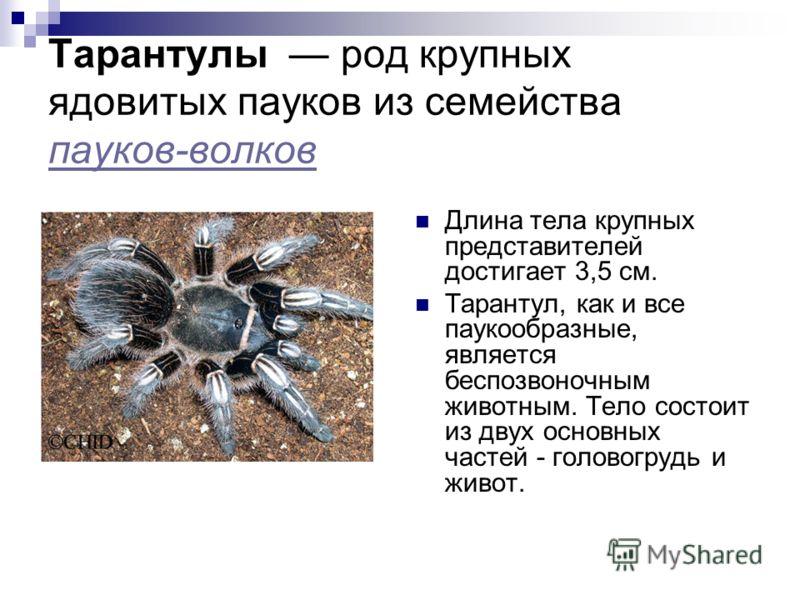 Тарантулы род крупных ядовитых пауков из семейства пауков-волков пауков-волков Длина тела крупных представителей достигает 3,5 см. Тарантул, как и все паукообразные, является беспозвоночным животным. Тело состоит из двух основных частей - головогрудь