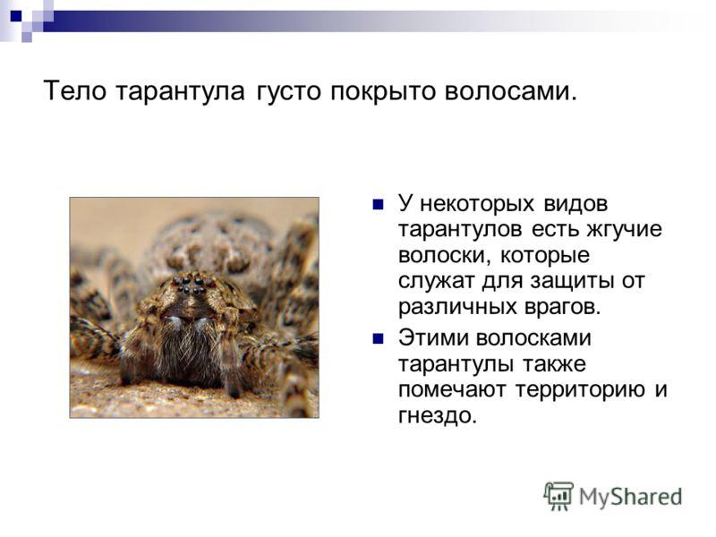 Тело тарантула густо покрыто волосами. У некоторых видов тарантулов есть жгучие волоски, которые служат для защиты от различных врагов. Этими волосками тарантулы также помечают территорию и гнездо.