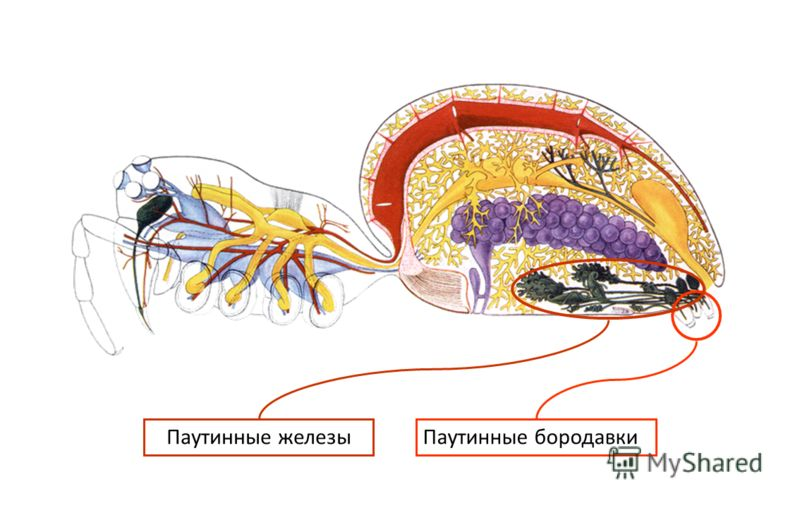 Паутинные бородавки Паутинные железы
