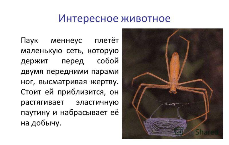 Интересное животное Паук меннеус плетёт маленькую сеть, которую держит перед собой двумя передними парами ног, высматривая жертву. Стоит ей приблизится, он растягивает эластичную паутину и набрасывает её на добычу.