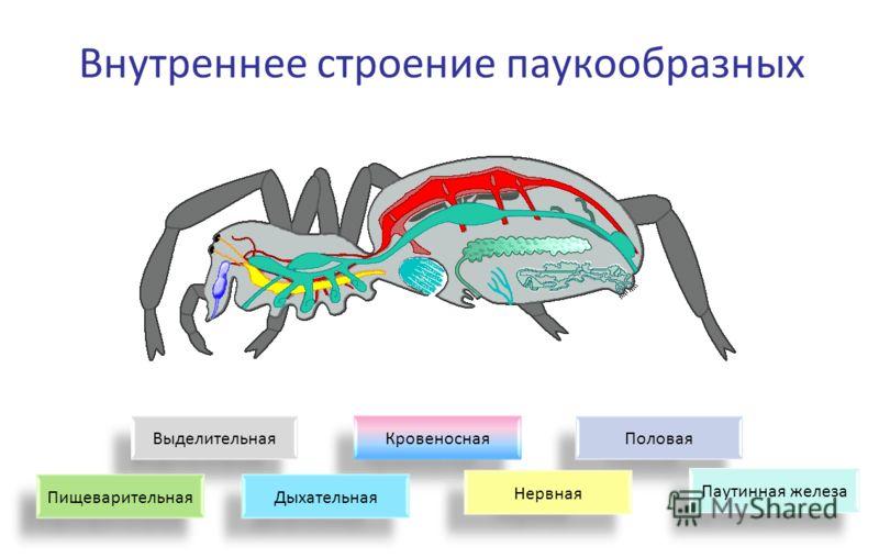 ВыделительнаяКровеноснаяПоловая НервнаяДыхательнаяПищеварительная Паутинная железа