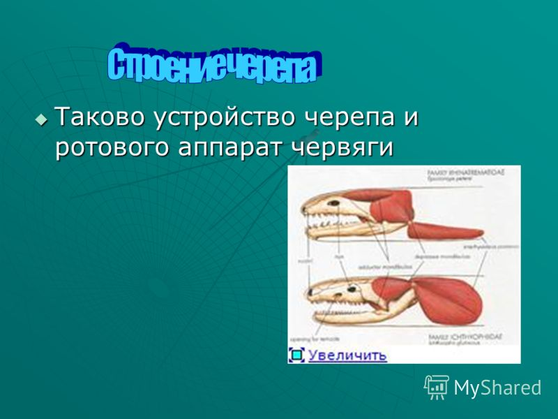 Таково устройство черепа и ротового аппарат червяги Таково устройство черепа и ротового аппарат червяги