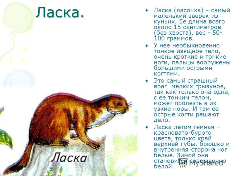 Ласка. Ласка (ласочка) – самый маленький зверек из куньих. Ее длина всего около 15 сантиметров (без хвоста), вес - 50- 100 граммов. У нее необыкновенно тонкое изящное тело, очень кроткие и тонкие ноги, пальцы вооружены большими острыми когтями. Это с
