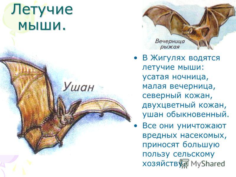 Летучие мыши. В Жигулях водятся летучие мыши: усатая ночница, малая вечерница, северный кожан, двухцветный кожан, ушан обыкновенный. Все они уничтожают вредных насекомых, приносят большую пользу сельскому хозяйству.