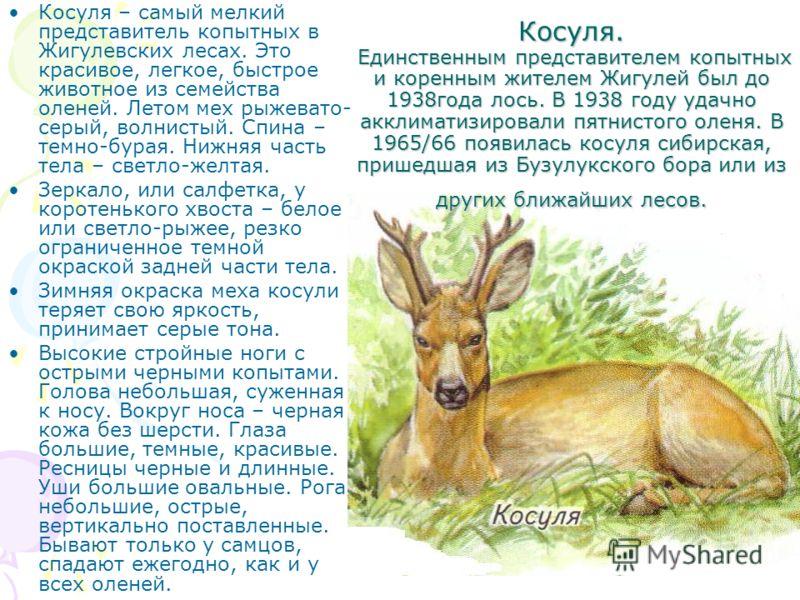 Косуля. Единственным представителем копытных и коренным жителем Жигулей был до 1938года лось. В 1938 году удачно акклиматизировали пятнистого оленя. В 1965/66 появилась косуля сибирская, пришедшая из Бузулукского бора или из других ближайших лесов. К