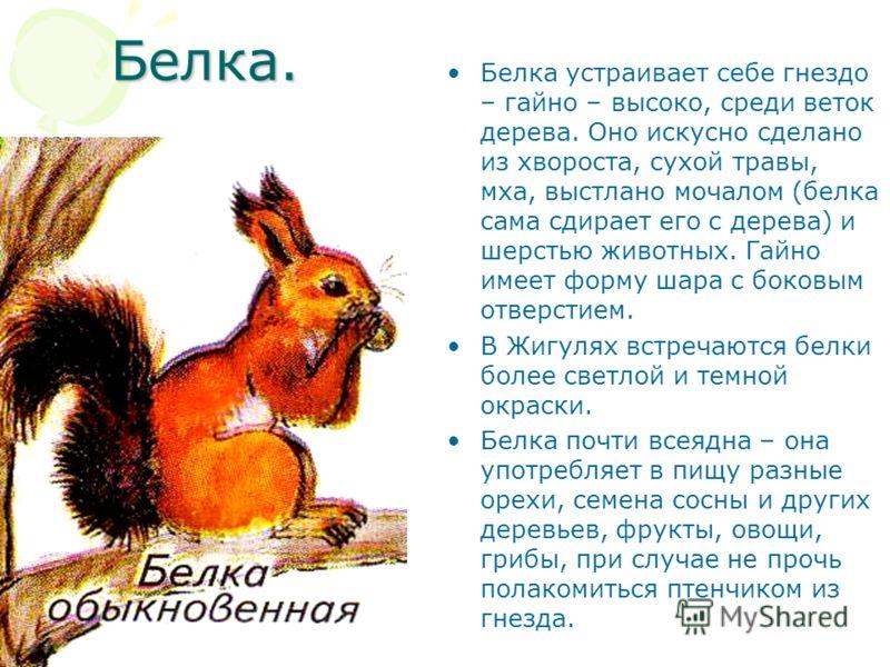 Белка. Белка устраивает себе гнездо – гайно – высоко, среди веток дерева. Оно искусно сделано из хвороста, сухой травы, мха, выстлано мочалом (белка сама сдирает его с дерева) и шерстью животных. Гайно имеет форму шара с боковым отверстием. В Жигулях