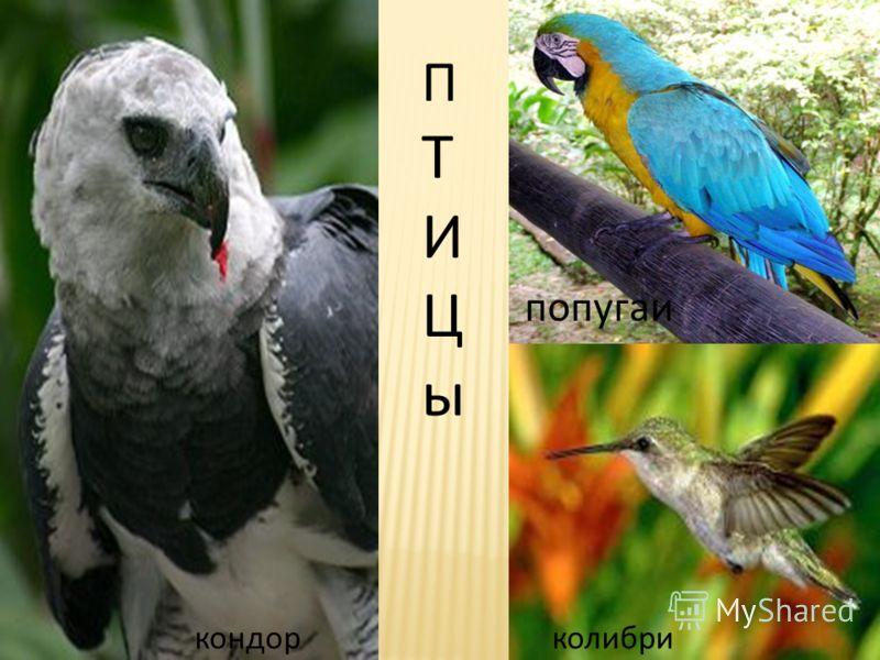 ПТИЦыПТИЦы кондор колибри попугаи