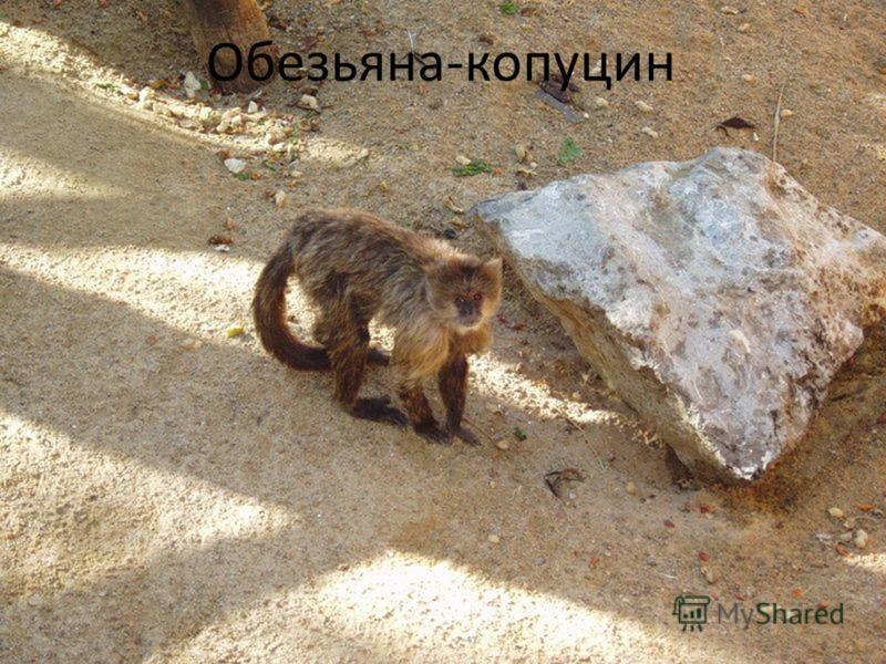Обезьяна-копуцин