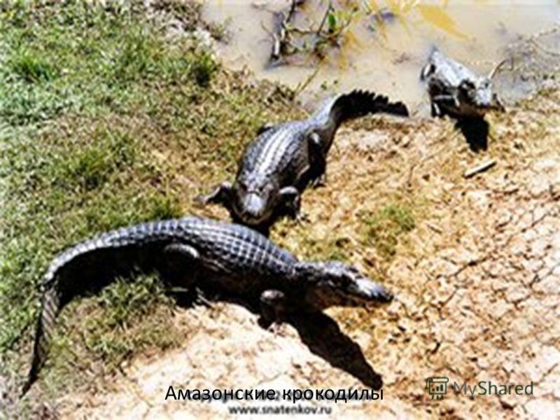 Амазонские крокодилы