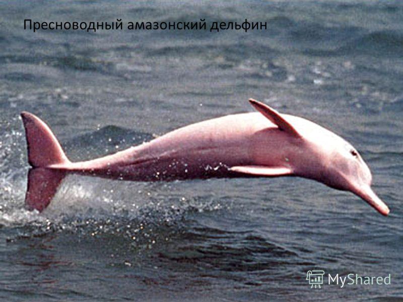 Пресноводный амазонский дельфин