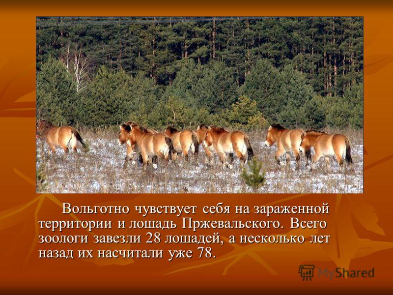 Вольготно чувствует себя на зараженной территории и лошадь Пржевальского. Всего зоологи завезли 28 лошадей, а несколько лет назад их насчитали уже 78. Вольготно чувствует себя на зараженной территории и лошадь Пржевальского. Всего зоологи завезли 28