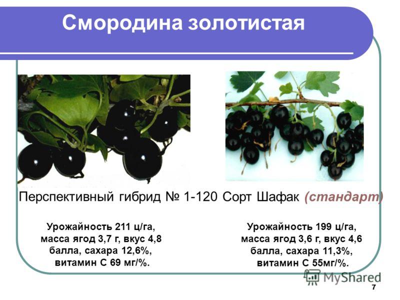 7 Смородина золотистая Перспективный гибрид 1-120 Урожайность 211 ц/га, масса ягод 3,7 г, вкус 4,8 балла, сахара 12,6%, витамин С 69 мг/%. Сорт Шафак (стандарт) Урожайность 199 ц/га, масса ягод 3,6 г, вкус 4,6 балла, сахара 11,3%, витамин С 55мг/%.