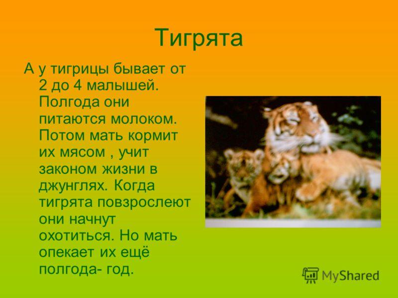 Тигрята А у тигрицы бывает от 2 до 4 малышей. Полгода они питаются молоком. Потом мать кормит их мясом, учит законом жизни в джунглях. Когда тигрята повзрослеют они начнут охотиться. Но мать опекает их ещё полгода- год.