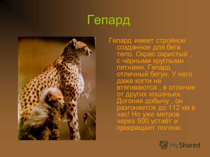 Гепард Гепард имеет стройное созданное для бега тело. Окрас охристый, с чёрными круглыми пятнами. Гепард отличный бегун. У него даже когти не втягиваются, в отличие от других кошачьих. Догоняя добычу, он разгоняется до 112 км в час! Но уже метров чер