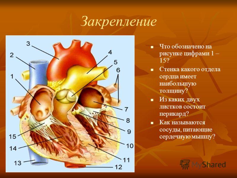 Закрепление Что обозначено на рисунке цифрами 1 – 15? Стенка какого отдела сердца имеет наибольшую толщину? Из каких двух листков состоит перикард? Как называются сосуды, питающие сердечную мышцу?