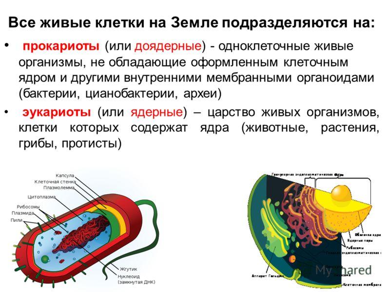 Все живые клетки на Земле подразделяются на: прокариоты (или доядерные) - одноклеточные живые организмы, не обладающие оформленным клеточным ядром и другими внутренними мембранными органоидами (бактерии, цианобактерии, археи) эукариоты (или ядерные)