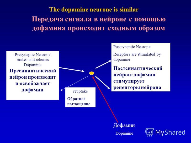 The dopamine neurone is similar Presynaptic Neurone makes and releases Dopamine Пресинаптический нейрон производит и освобождает дофамин Postsynaptic Neurone Receptors are stimulated by dopamine Постсинаптический нейрон: дофамин стимулирует рецепторы